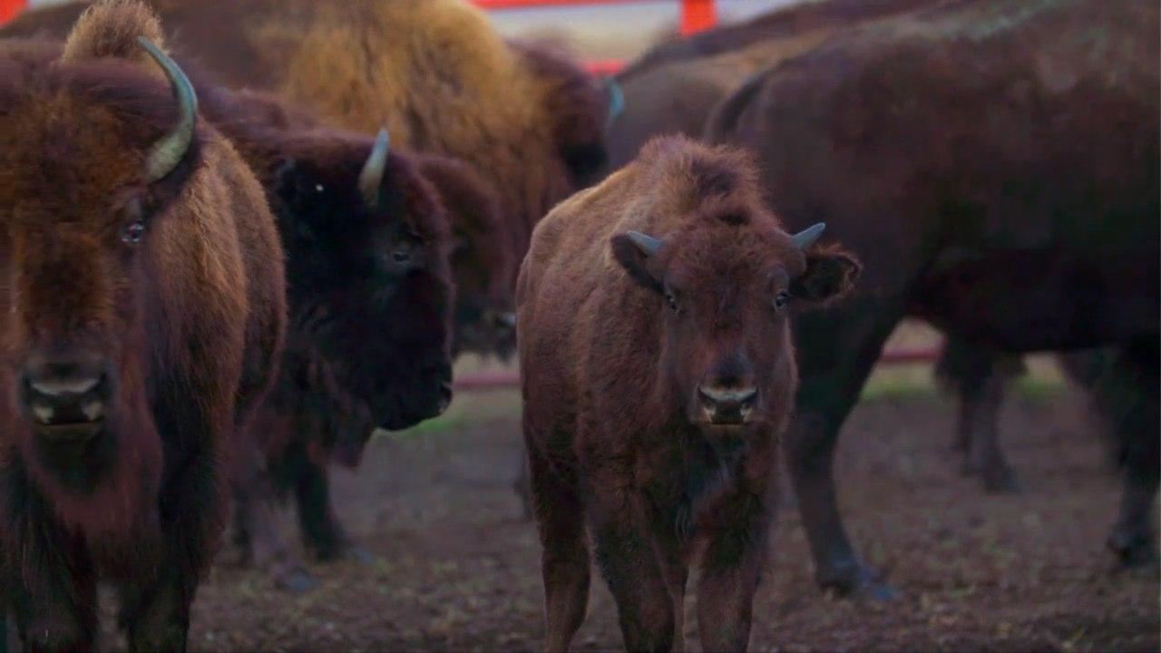 Bison Roundup at the Tallgrass Prairie Preserve